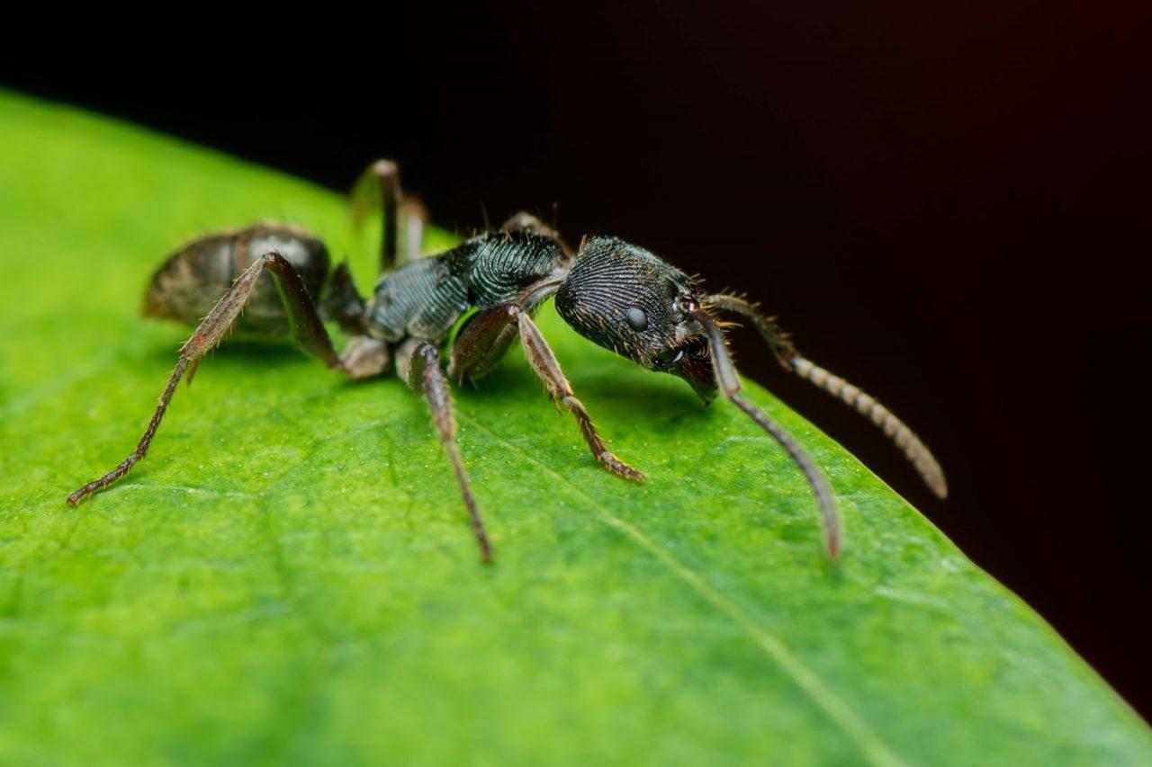 ant on a leaf Courtesy of Hue Chee KongShutterstockcom_266352506