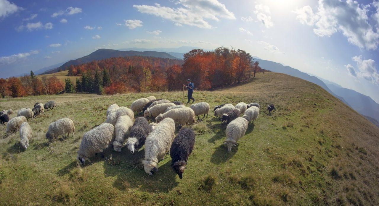 shepherd and sheep on rolling hills landscape Courtesy of Roman MikhailiukShutterstockcom _230528962
